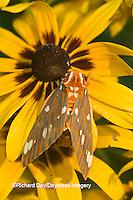 04001-00218 Regal Moth (Citheronia regalis) on Black-eyed Susan (Rudbeckia hirta) Marion Co.  IL