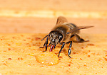 Honey Bee drinking honey from honeycomb, inside hive, Apis mellifera, Kent UK