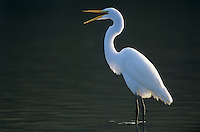 Great Egret, Ardea alba, adult bill open, Sanibel Island, Florida, USA