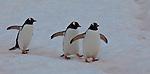 Antarctica Gentoo penguin(s)
