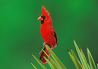 Northern Cardinal, Cardinalis cardinalis,male on Trecul Yucca (Yucca treculeana) , Starr County, Rio Grande Valley, Texas, USA