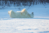01874-13602 Polar Bear (Ursus maritimus) lying on back, Churchill Wildlife Management Area, Churchill, MB