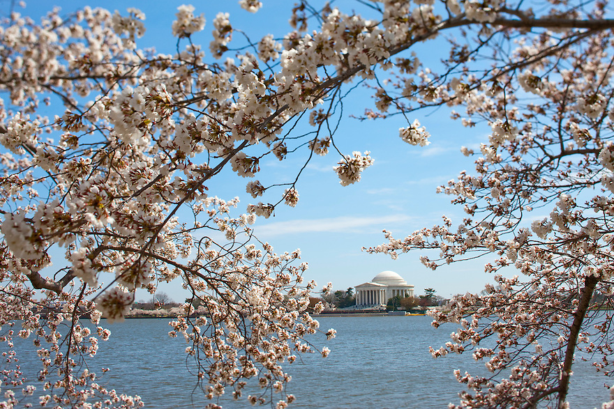 The Washington Monument is seen through the cherry blossoms blooms on trees along the tidal basin and mall in Washington.   Each spring over a million tourists come to the Nation's Capitol to see the 3,000 cherry trees in bloom, a gift from Japan in 1912.