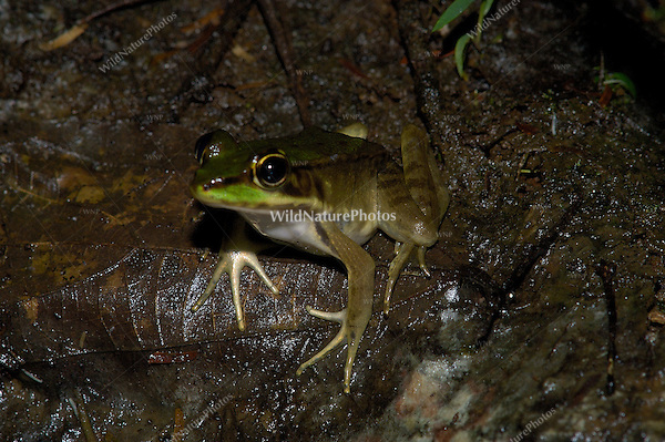 A well-hidden Vaillant's frog, Rana viallanti, on the rainforest floor; La Selva, Costa Rica
