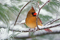 Female Northern Cardinal in snowy pine tree.Cardinalis cardinalis.Female Northern Cardinal in snowy pine treeCardinalis cardinalis.Female Northern Cardinal in snowy pine treeCardinalis cardinalis.Female Northern Cardinal in snowy pine tree.Cardinalis cardinalis