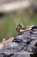 02915-00118 Western Rattlesnake (Crotalus viridis)    MT