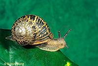 1Y08-127z  Land Snail - west coast snail - Helix aspersa