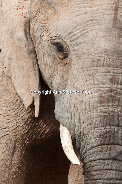 Elephant, Loxodonta africana, Addo national park, Eastern Cape, South Africa