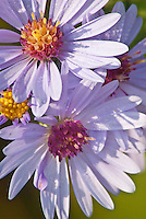 Fall Asters dot the Schulenberg Prairie at the Morton Arboretum