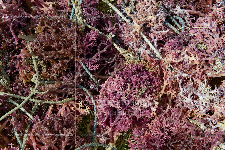 TANZANIA, Zanzibar, village Muungoni, due to climate change and rising water temperatures seaweed farmer have shifted to plant red algae farming in deep water, sun dried red algae