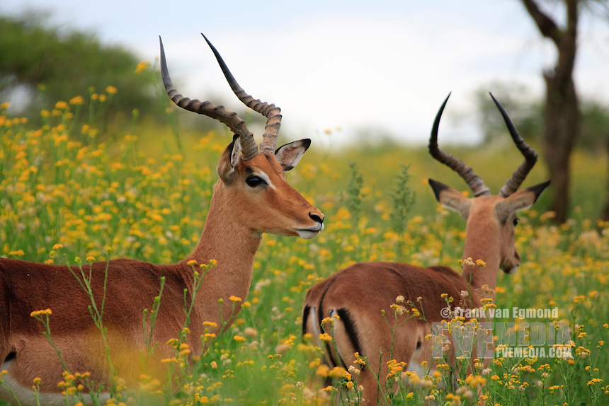 Impala's in a field of flowers. Summer at Imfolozi. Kwazulu-Natal, South Africa.