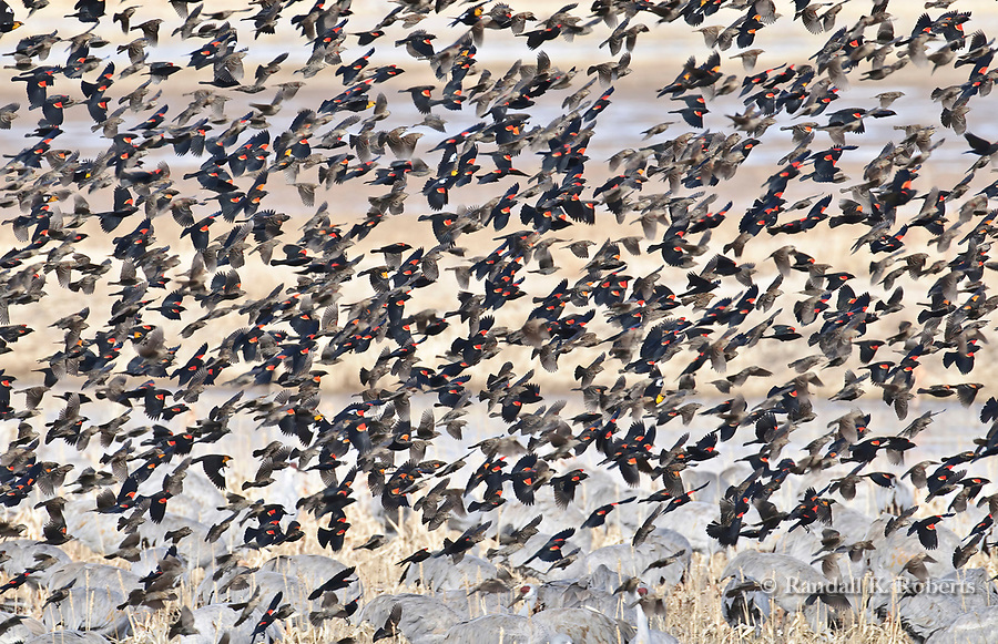 Red-winged black birds take to the air at Bosque del Apache National Wildlife Refuge, near Socorro, New Mexico