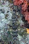 Cymbacephalus beauforti, Crocodilefish, Raja Ampat, Indonesia