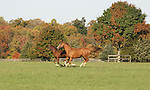 A mare and foal gallop in the field at Bright View Farm in Chesterfield, New Jersey.  Photo By Bill Denver/EQUI-PHOTO.