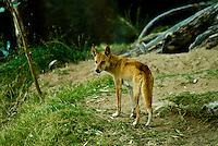 The Australian Dingo is a domestic dog which has adapted to life as a wild dog. Its original ancestors are thought to have arrived with humans from southeast Asia thousands of years ago, when dogs were still relatively undomesticated and closer to their wild Asian Gray Wolf parent species, Canis lupus. Since that time, life largely apart from people and other dogs, together with the demands of Australian ecology, has caused them to develop features and instincts that distinguish them from all other dogs, and to maintain ancient characteristics that unite them, along with other primitive dogs, into a taxon named after them Canis lupus dingo and separate them from the familiar, common dog, Canis lupus familiaris.