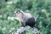 A Hoary Marmot seen on a rock in Alaska on a summer day.