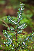 "Hemlock woolly adelgid infestations are easily recognizable by the appearance of tiny ""cotton balls"" at the base of hemlock needles, Chattooga Wild and Scenic River, South Carolina and Georgia"