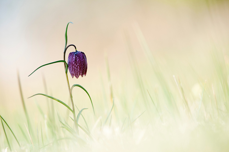 Snakeshead Fritillary, Fritillaria meleagris in Hay Meadow - Clattinger farm, Wiltshire. This habitat has been reduced in the UK through intensified farming by 98% since the second world war and is highly endangered.