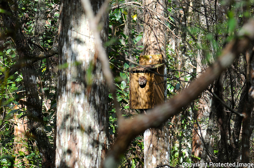 Small Screech Owl peaking out from a  wooden enclosure attached to a tree. Photographed at Arthur Marshall Loxahatchee Preserve, Boynton Beach, Florida.