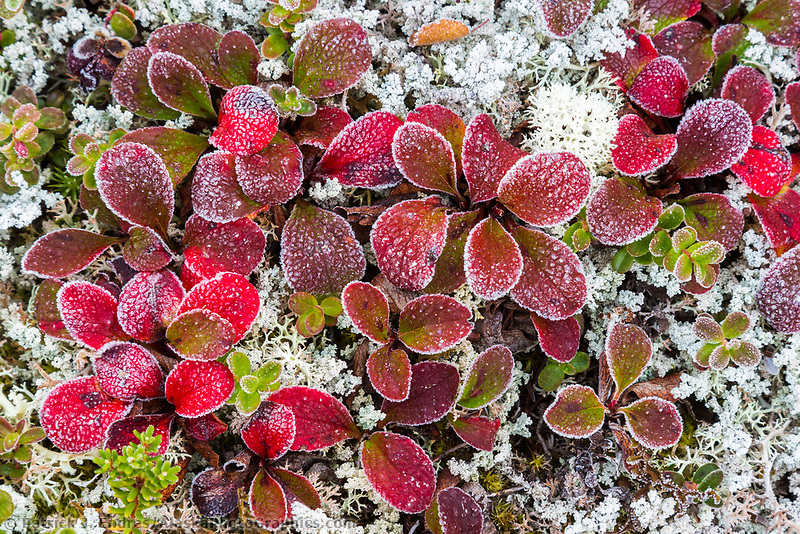 Frost covered bearberry | AlaskaPhotoGraphics.com