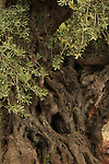 Israel, Upper Galilee, Olive tree in Ein el Assad