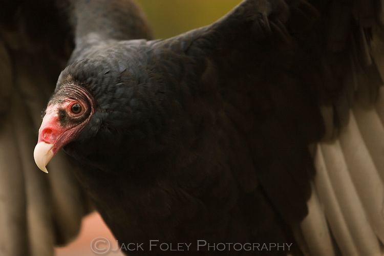 Turkey vulture trying to be intimidating.