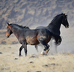 Wild horses in rural Nevada.