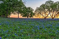 This was captured before the sun broke the horizon but you got some nice color in the sky over this field of bluebonnets in the Texas Hill Country. We like the different trees along with the Mesquite trees in the image as they captured this field of Texas bluebonnet wildflowers with this wonder pre-sunrise colors.