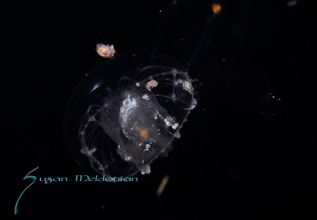 Amphipods on a Jellyfish
