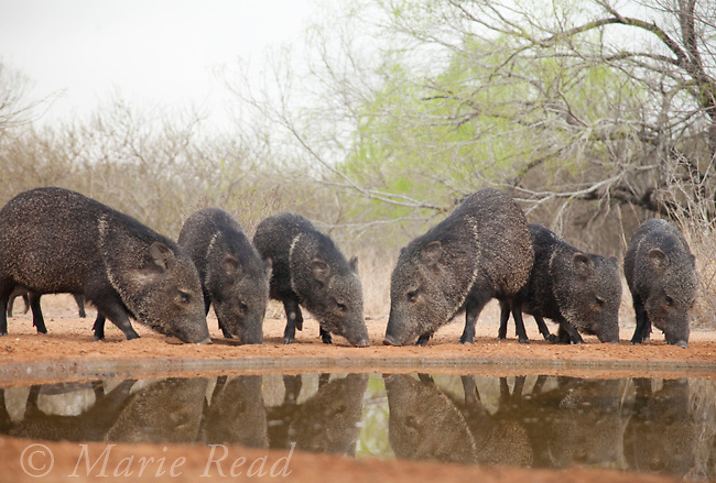 Collared Peccaries (), Santa Clara Ranch, Rio Grande Valley, Texas, USA