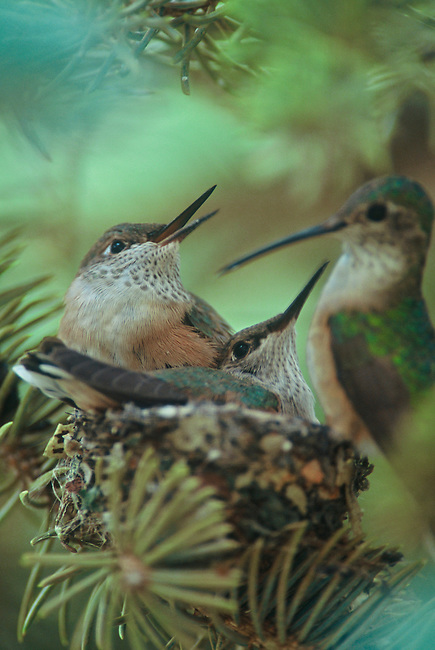 A female broad-tailed hummingbird (Selasphorus platycercus) feeds her young in a pine tree in Rocky Mountain National Park, Colorado.