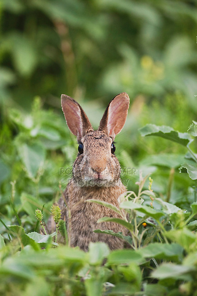Eastern Cottontail (Sylvilagus floridanus), adult, Sinton, Corpus Christi, Coastal Bend, Texas, USA