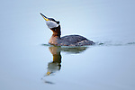 A Red Necked Grebe on a Montana lake