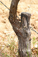 Domaine Clos Marie. Pic St Loup. Languedoc. Field-grafted (surgreffe, surgreffage) vines. France. Europe. Vineyard.