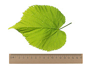 Sommer-Linde, Sommerlinde, Linde, Tilia platyphyllos, Tilia grandifolia, large-leaved lime, Large Leaved Lime, largeleaf linden, large-leaved linden, Le tilleul à grandes feuilles. Blatt, Blätter, leaf, leaves