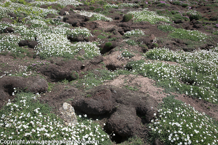 Manx shearwater burrows sea campion Skomer Island, Pembrokeshire, Wales