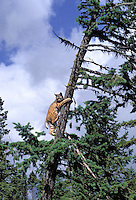 Bobcat in tree. Summer. Rocky Mountains. (Felis rufus).