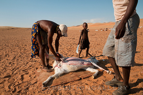 Two Himba men and a young boy, all wearing some western style clothes, skinning a recently slaughtered goat for food. Himba are nomadic herders of goats and cattle, living in the dry desert regions of northwestern Namibia and southern Angola. [NO MODEL RELEASE]