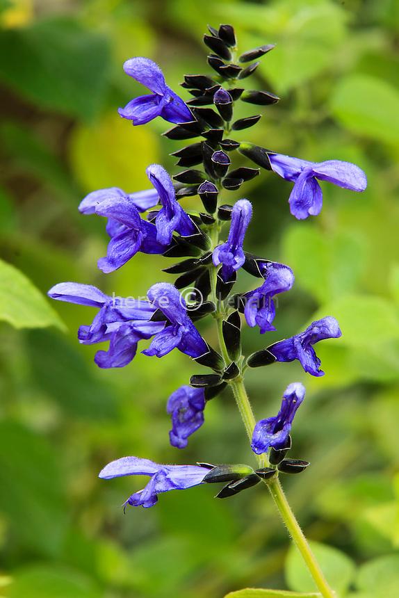France, Alpes-Maritimes (06), Menton, jardin Serre de la Madone :.Salvia guaranitica (= Salvia concolor), sauge guaranitica.