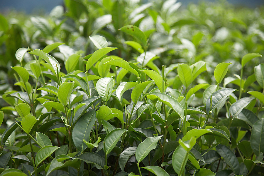 Recently picked tea plants near the town of Chimate in the fertile Yungas region of Bolivia.