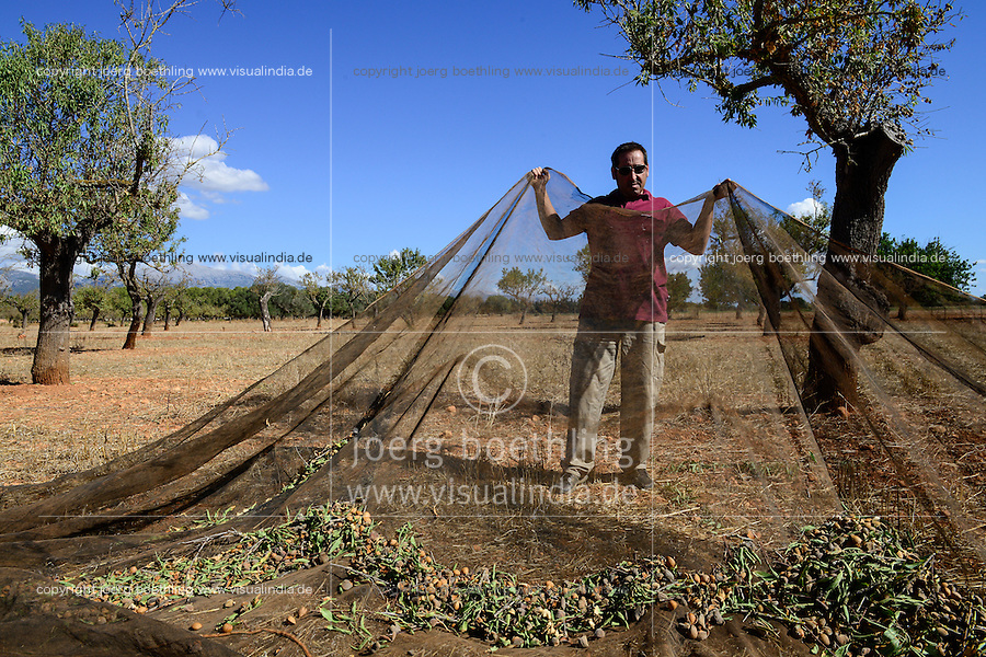 SPAIN Mallorca, Binissalem, Finca Biniagual, almond trees, almond harvest / SPANIEN Mallorca, Binissalem, Finca Biniagual, Mandelbaeume, Mandelernte