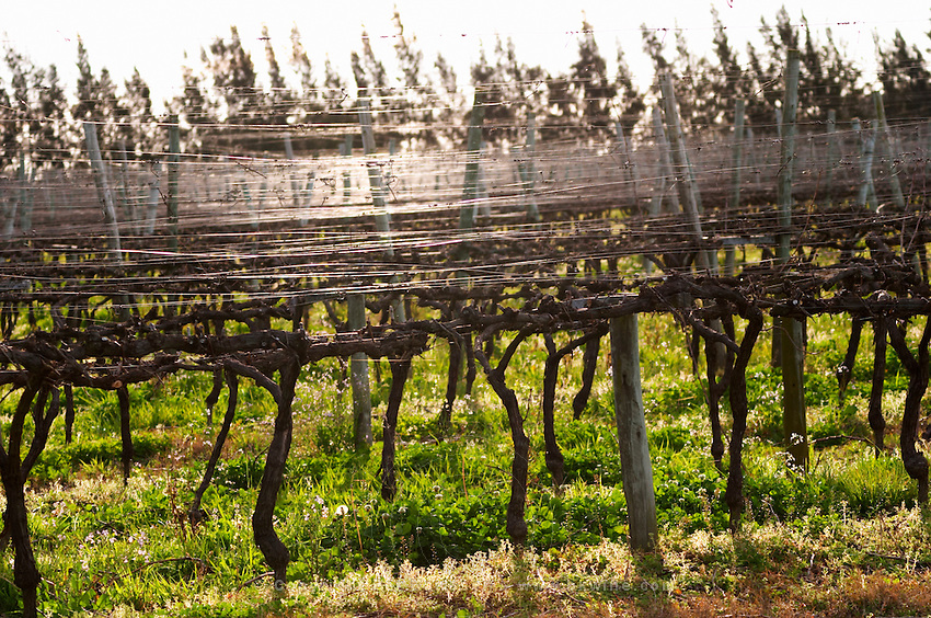 Vines trained in Cordon Royat back lit with gleaming metal wires to tie the branches to. Vinedos y Bodega Filgueira Winery, Cuchilla Verde, Canelones, Montevideo, Uruguay, South America