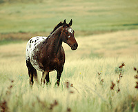 Appaloosa stallion in field of tall grass.