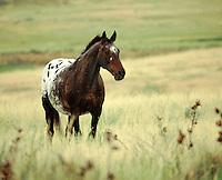 Appaloosa stallion in field of tall grass.