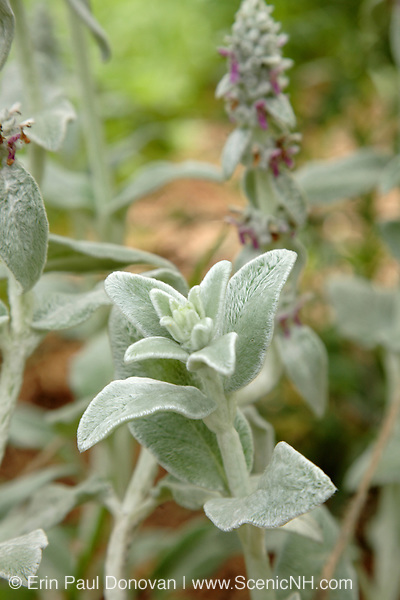Lamb's Ear Plants  during the summer months in a New England garden