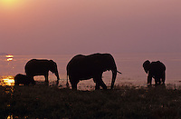 African Elephant family feeding in lake at sunset.  (Loxodonta Africana)  Africa.