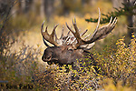 Bedded bull moose during the rut. Grand Teton National Park, Wyoming.