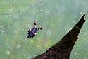 Moth {Phobetron hipparchia}, showing bird dropping mimicry. Cordillera de Talamanca mountain range, Caribbean Slopes, Costa Rica. May.