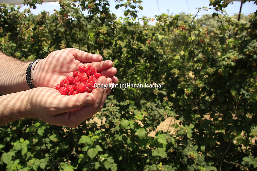 Golan Heights, Berries in Shaal