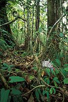 Rainforest, Philippines, Mt. Apo National Park, Lianas